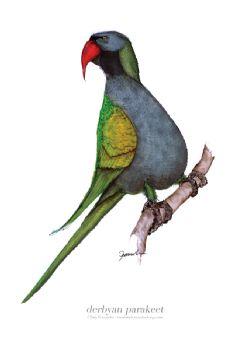Derbyan Parakeet - signed print